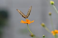 花と蝶MDCCXXXI!