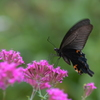 花と蝶MDCCCLXXIV!