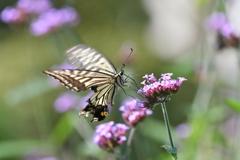 花と蝶CMXLIV!