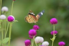 花と蝶CCXXXI!