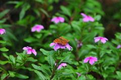 花と蝶MDCCXXIII!