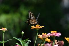 花と蝶MDCXI!