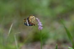 花と蝶MDCCXLIV!