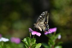 花と蝶CMXLIX!