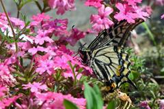 花と蝶DLX!