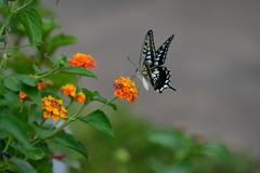 花と蝶MDCXV!