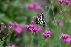 花と蝶MDCCCLXV!