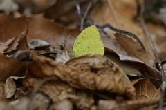 里山の蝶CCVII!