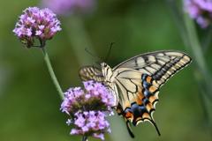 花と蝶MCCLIX!