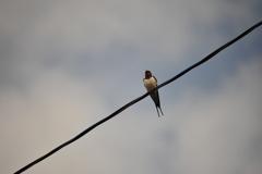 身近にいる野鳥CCCVII!