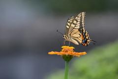 花と蝶MDCCXLVI!