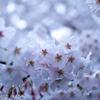 艶やかな桜