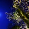 満月と明星桜