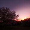 染まりゆく桜