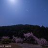 月明かり桜