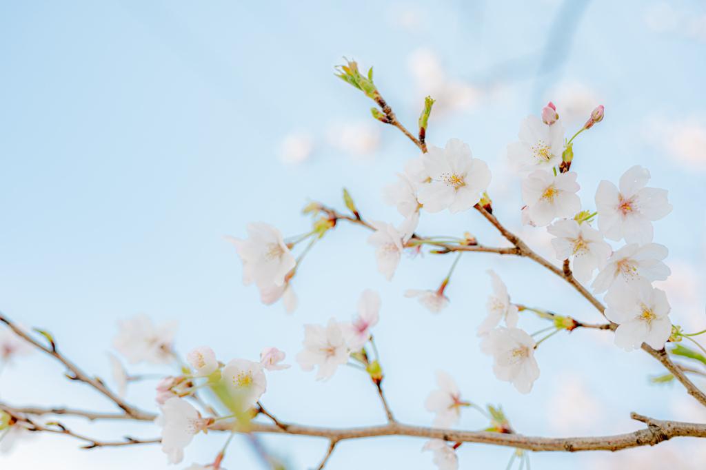 2021年の桜1