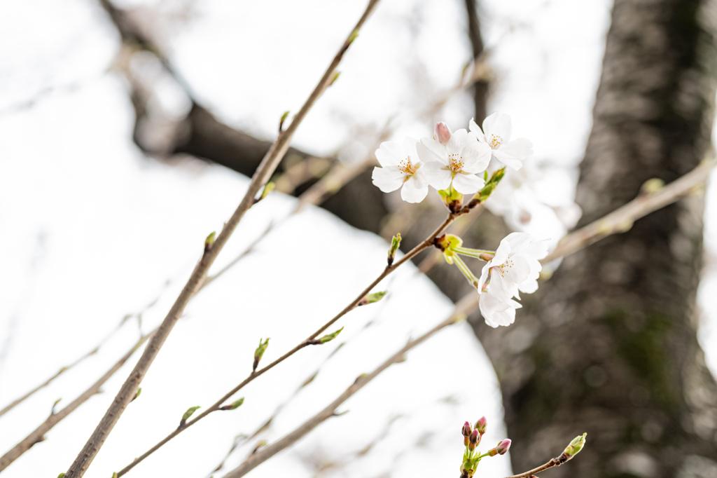 2021年の桜6
