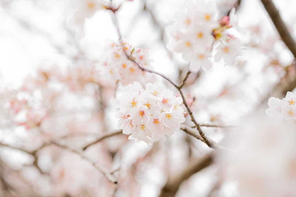 2021年の桜2