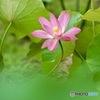蓮の花 3