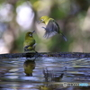 水場の鳥③