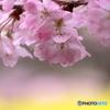 春めき桜①