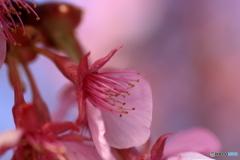 常昌院の河津桜1