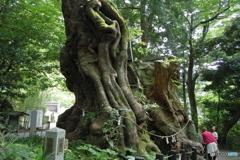 樹齢2千年(熱海来宮神社)