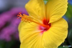 庭の花 ハイビスカス
