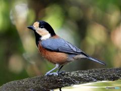 水場の野山の鳥⑤