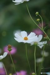 花便り コスモス2