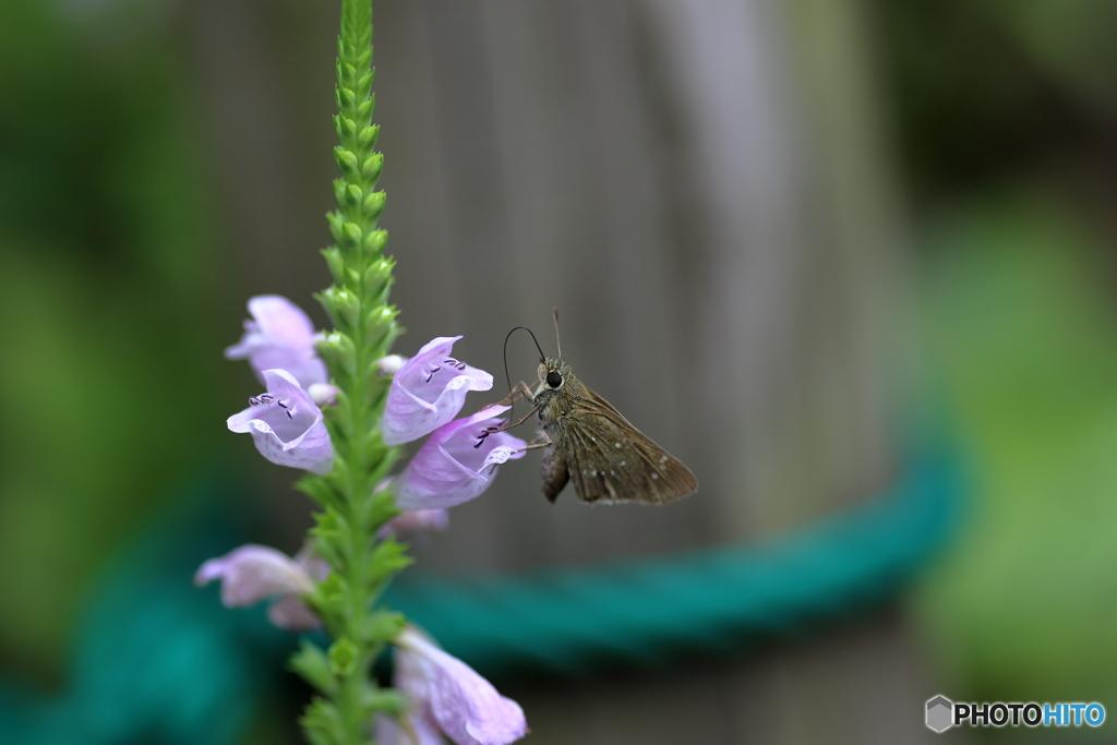 蝶と花XVII