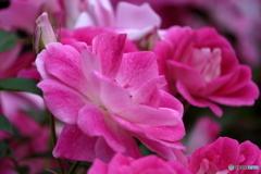 薔薇の季節⑦
