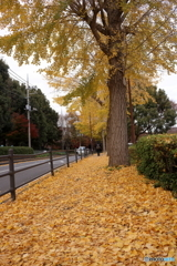 銀杏の歩道
