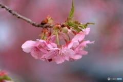 宗仲寺の河津桜2