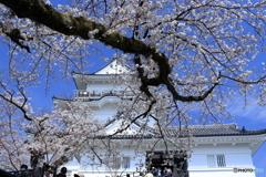 小田原城と桜1