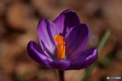 野に咲くクロッカス1