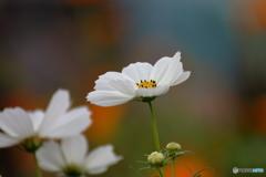 花便り コスモス 白