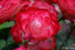 薔薇の季節⑥