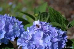 紫陽花に誘われて