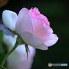 五月の薔薇⑥