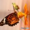 蝶と花XIV