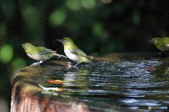 メジロ水浴2