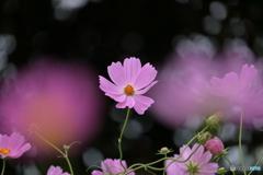 花便り コスモス1