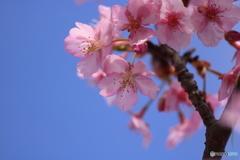 常昌院の河津桜2