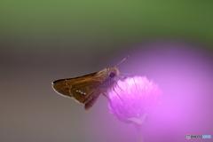 蝶と花XI