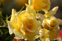 花便り 秋バラ2