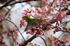 桜ジロー3