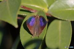 山茶花の葉の蝶