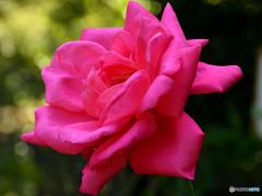 花便り バラ2