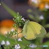 蝶と花XV